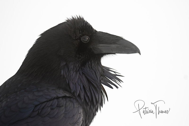 raven side profile 5 large wm.jpg