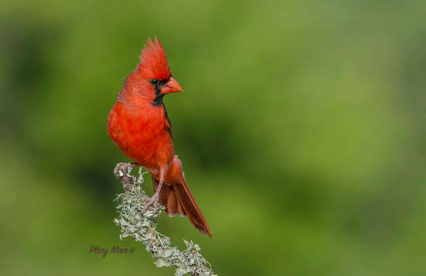 Cardinal LS_DWL4116.jpg