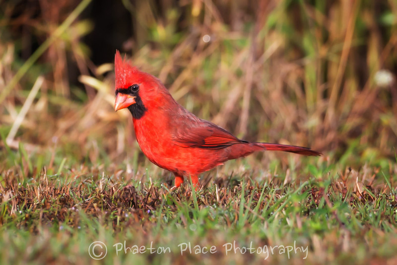Male Cardinal at Istokpoga