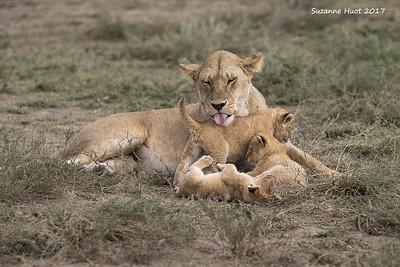 lion families