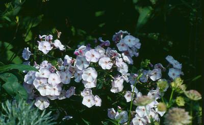 Phlox paniculata 'John Carter'