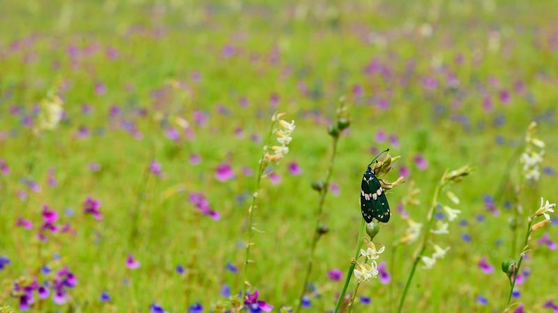 Day-moth-Kaas-Satara-1.jpg