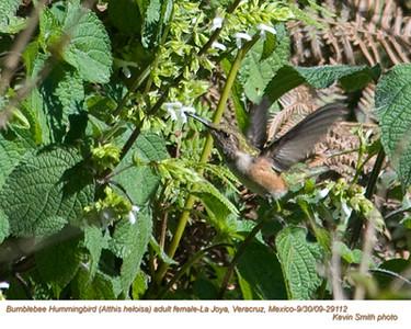 BumblebeeHummingbirdF29112.jpg