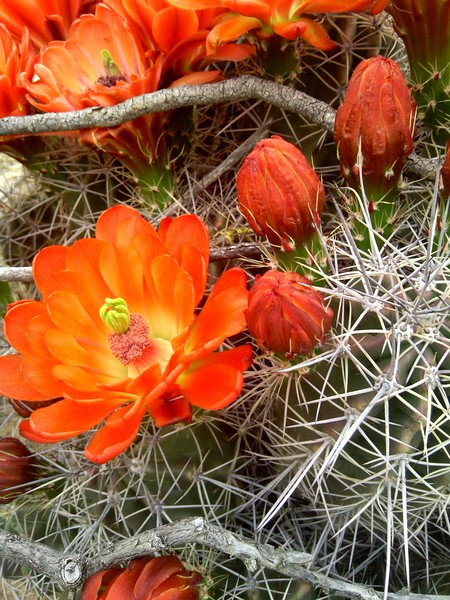Orange Cactus Blossoms