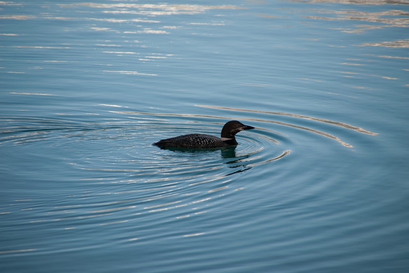 Loon on Lac Beauvert