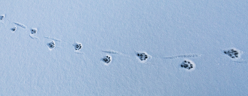 Otter paw prints on the seaice at Hailuoto