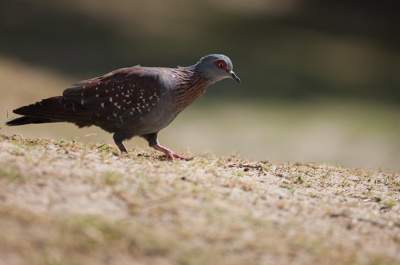 Speckled Pigeon, Boulders Beach, Simons Town