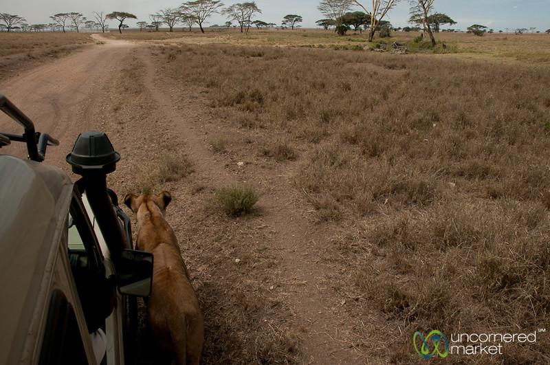 Lion Walking By Our Jeep - Serengeti, Tanzania