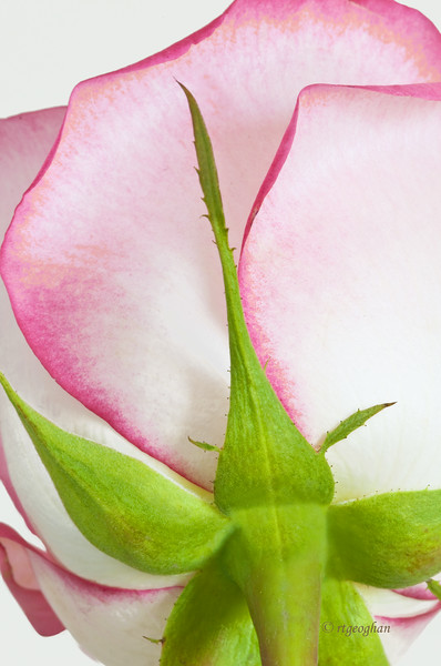 Mar 7_Rose Petals_4065.jpg