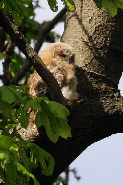 Tawny owlet Hyde Park, London, England
