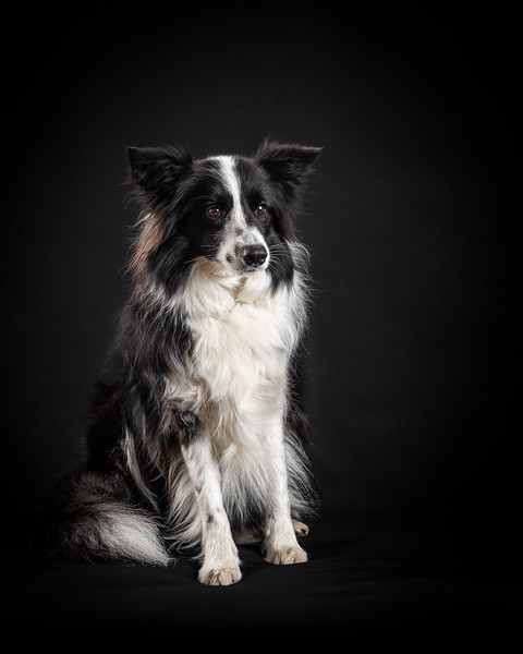124992-Fizz-the-Collie.jpg