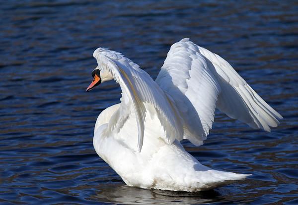 Swans 01-07-12