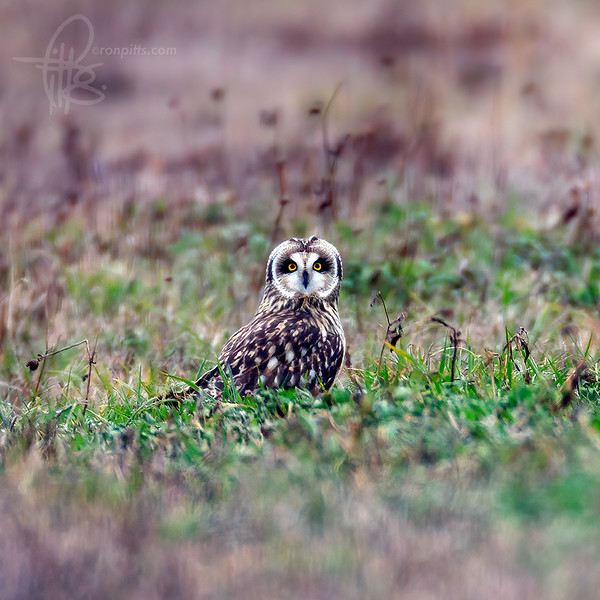 sm owl_M4D4588b.jpg