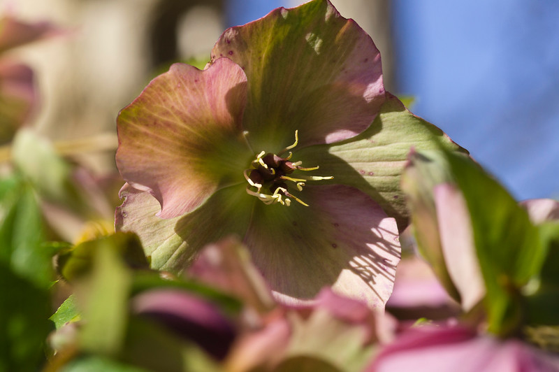 Helleborus in Pink and Green