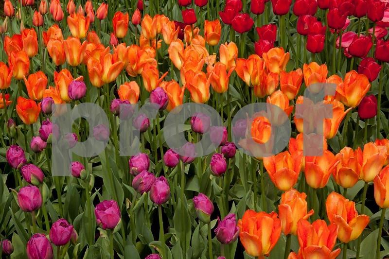 Tulips 5325.jpg