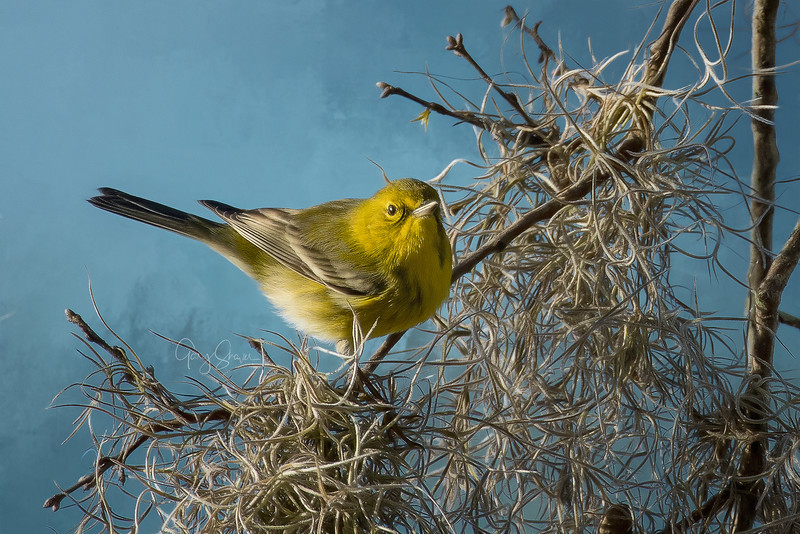 YellowWarbler 01 WS.jpg