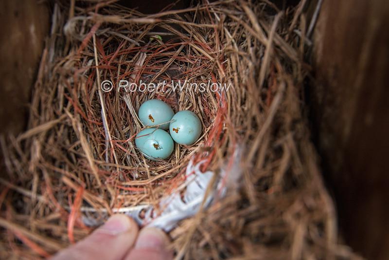 Damaged Western Bluebird Eggs,