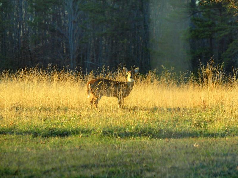 Deer Apco-033.JPG