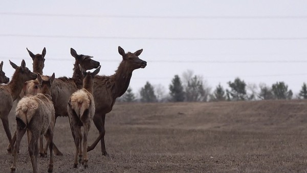 5-7-30 Video - Elk Herd
