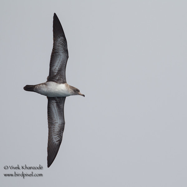 Pink-footed Shearwater - Half Moon Bay Pelagic, CA, USA