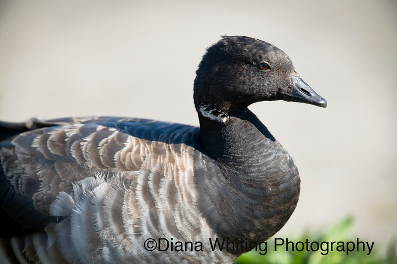 Brant Goose Atlantic.jpg