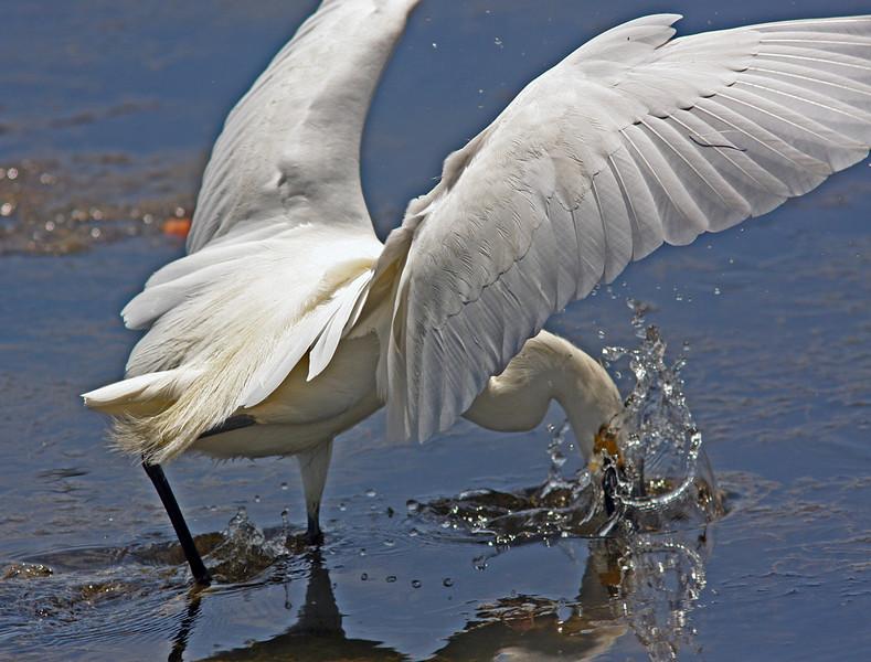 WB~Egretfishingnooncontempoplunge1280.jpg