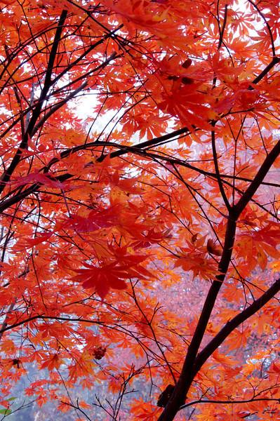 Japanese maple 2.jpg