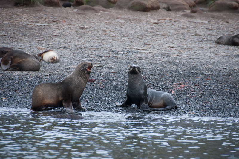 Fur seals in Cooper Bay, South Georgia Island