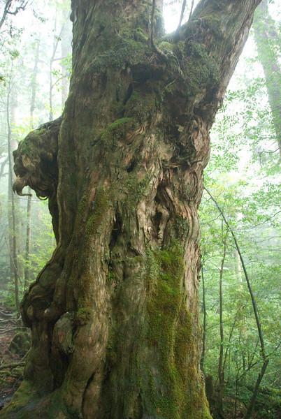 Green moss covering a tree bark in Yakushima, Japan