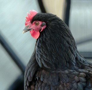 Favorite Fowl - Chicks