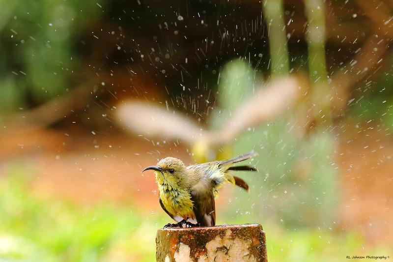 Variable Sunbird (f)