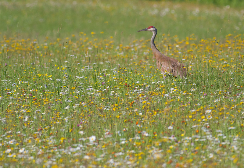 Sandhill Crane with colt in flowers Pine County MNIMG_1063.jpg