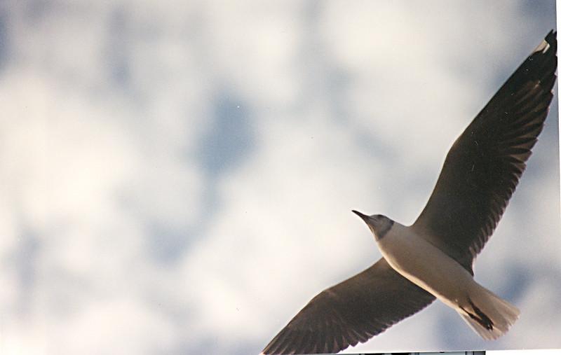 Gray-headed Seagull