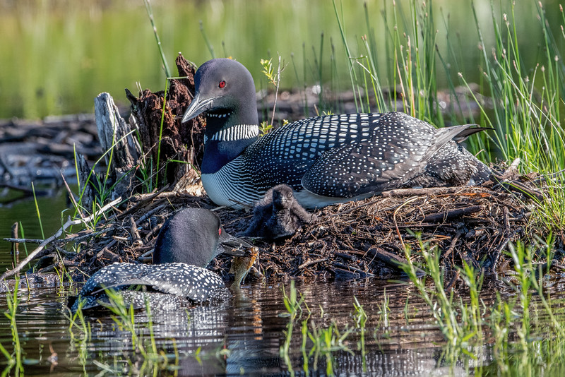 #611 Common Loon Family
