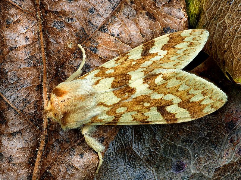 Mottled Tiger Moth