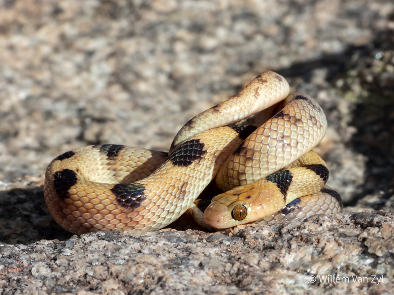 20200523 Beetz's Tiger Snake (Telescopus beetzii) from Springbok, Northern Cape