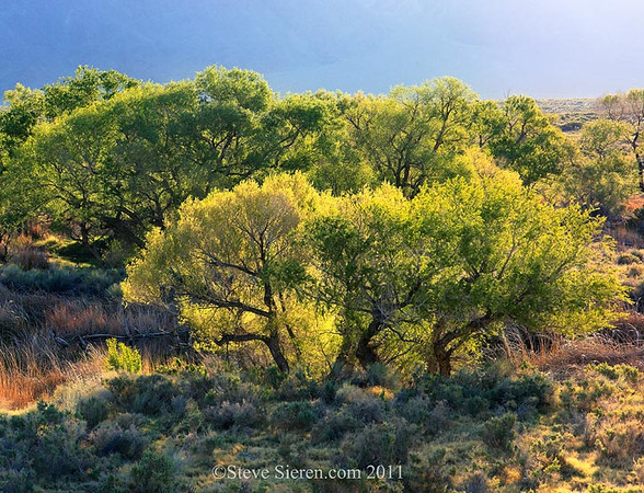 Lower Owens River Cottonwoods