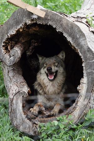 Wolf Park 7-30-06