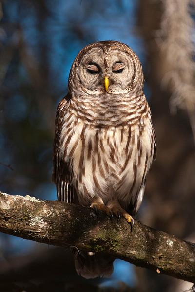 Owl - Barred - Lake Toho - Kissimmee, FL - 03