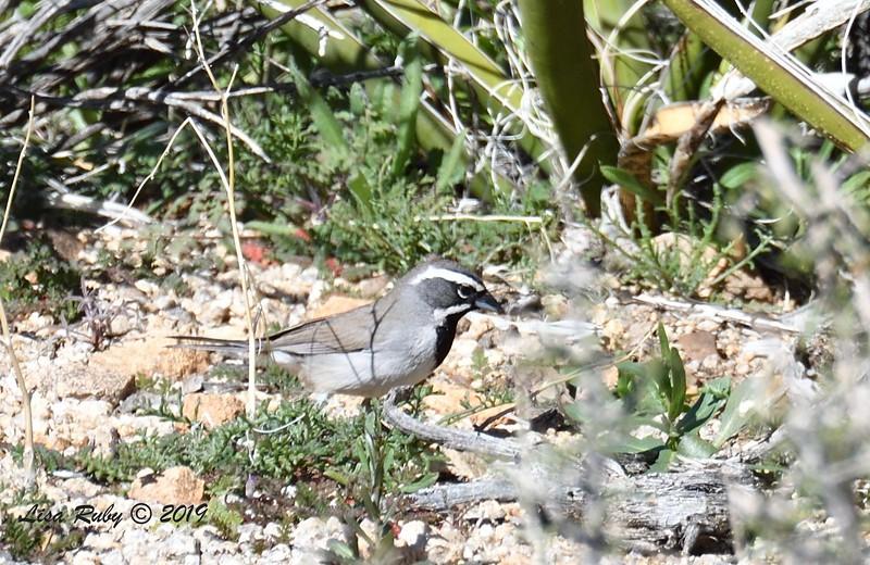 Black-throated Sparrow  - 02/27/2019 - Split Rock Trail, Joshua Tree Natl Park