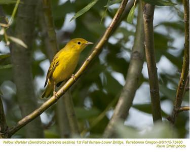Yellow Warbler J73480.jpg