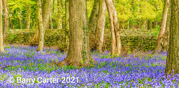 Bluebell Project Nidderdale North Yorkshire