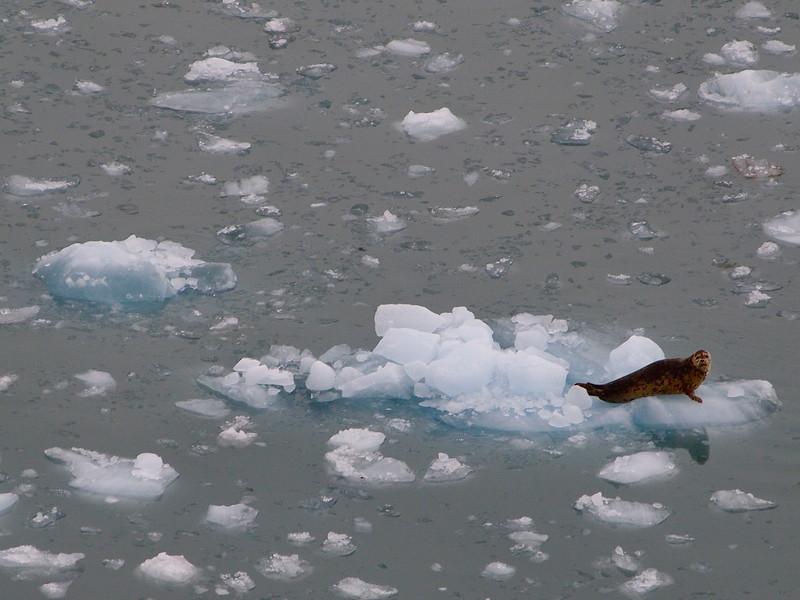 Seal on glacier ice in Alaska