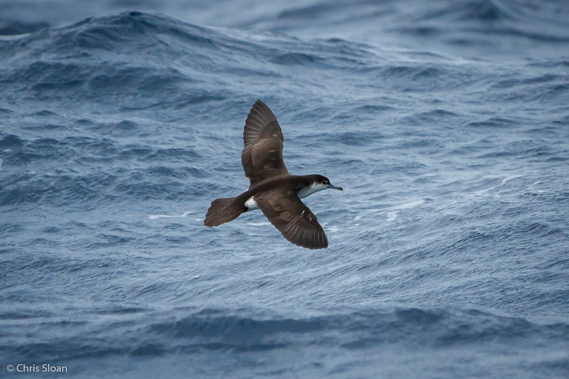 Audubon's Shearwater at Gulf Stream off Hatteras, NC (08-08-2014) 032-36.jpg