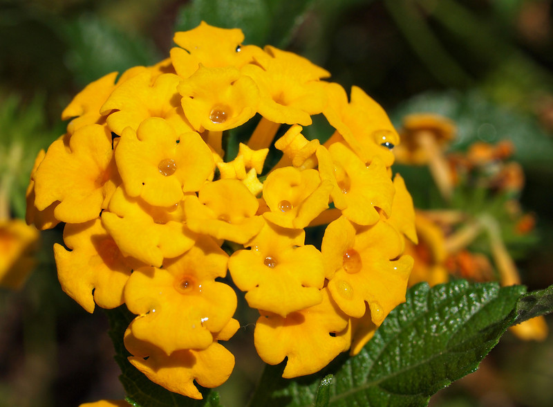 Lantana Gold with Water Drops  Order Code: B16