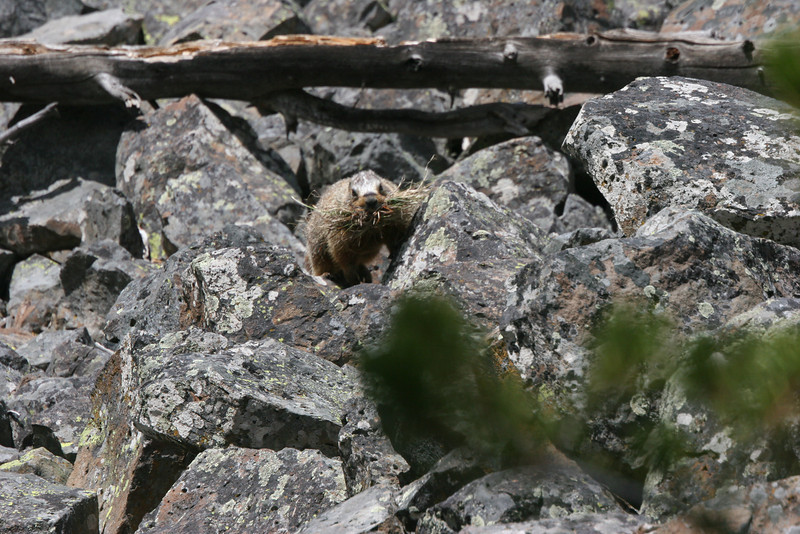 yellow-bellied marmot with a mouthful of grass