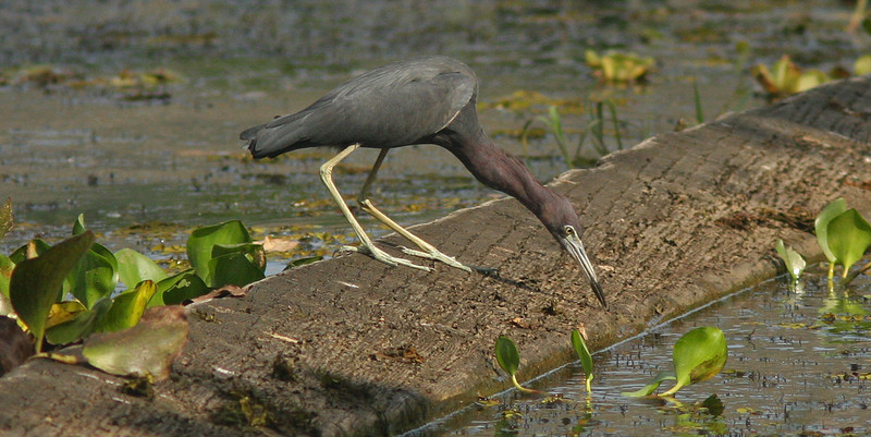 Little Blue heron fishing, Chagres River