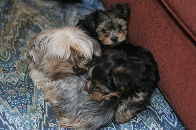 Christmas Yorkie Puppies 12-25-2013