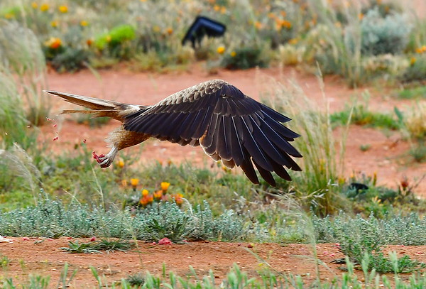 Hawks breaky