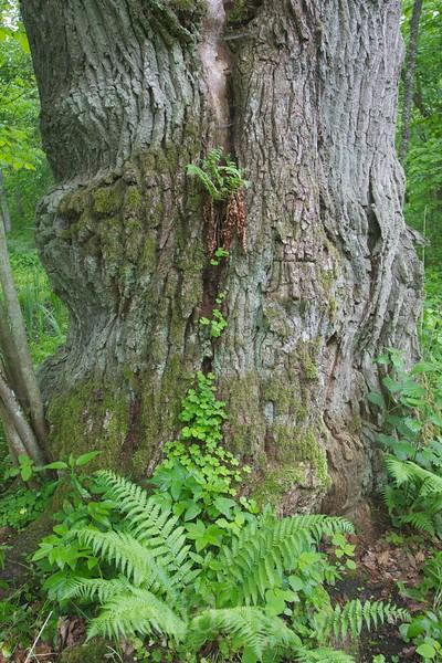 Fern growing of oak tree